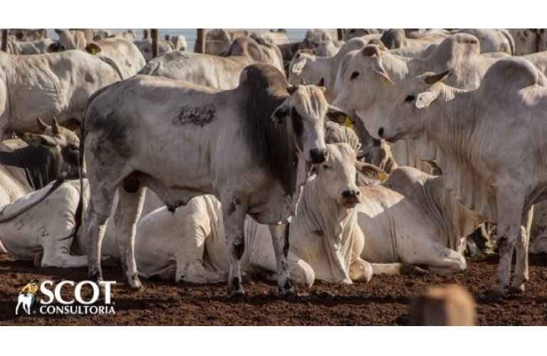 Maior oferta de bovinos estabiliza o mercado